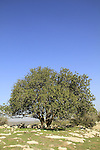 Israel, Shephelah, a Carob tree in Adulam