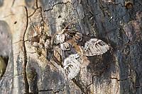 Ungefleckter Zahnspinner, Drymonia dodonaea, Drymonia trimaculata, Drymonia dodonaea f. trimacula, Marbled Brown, La Triple tache, Zahnspinner, Notodontidae, prominents