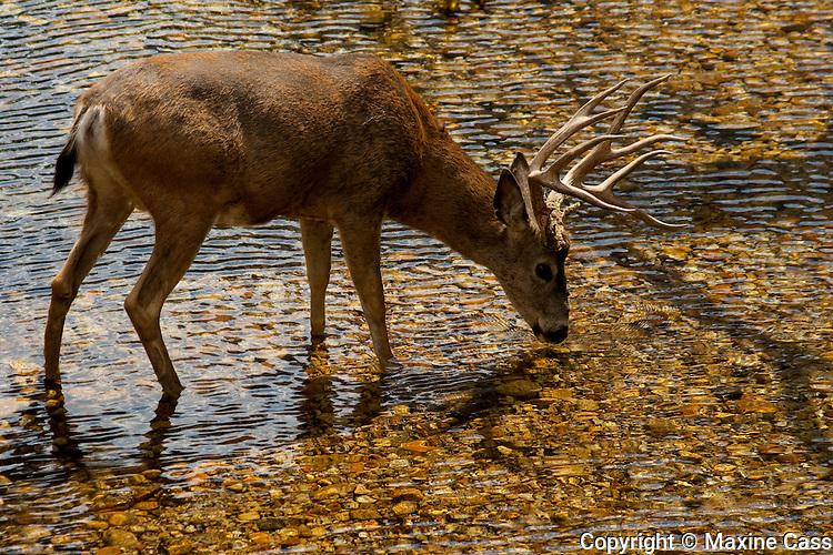 Mule deer (Odocoileus hemionus) [Wild] drinks from the Merced River in fall/autumn, near The Ahwahnee Hotel, Yosemite Valley, Yosemite National Park, California, United States of America