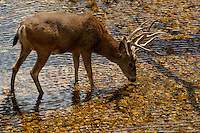 Mule deer (Odocoileus hemionus) [Wild] drinks from the Merced River in fall/autumn, near The Ahwahnee Hotel, Yosemite Valley, Yosemite National Park, California, United States of America