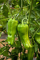 Green ripe specialty peppers 'Andaluz' on bush in field, Viridian Farms, Oregon