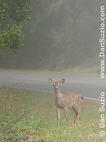 Fawn of black-tailed deer, Odocoileus hemionus, in fog at Point Reyes National Seashore, California