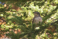 A juvenile gray jay waits in the trees to see what I might do next.
