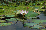 Bangkok, Ladmayom - Thailand, February 25, 2012 -- A lotus flower; nature -- Photo © HorstWagner.eu