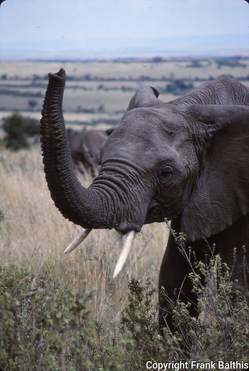 African elephant at the Masai Mara National Park