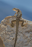 437880009 a wild long-nosed leopard lizard gambelia wislizenii sits on a rock along fish slough road in mono county california