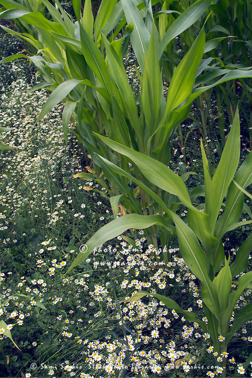 Corn growing in field.
