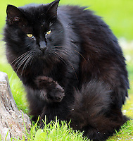 Stock image of black furry cat sitting in grass, looking keenly.