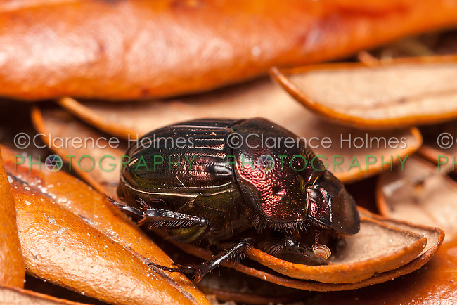 Female Rainbow Scarab beetle (Phanaeus igneus)