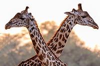 africa, Zambia, South Luangwa National Park,  giraffes