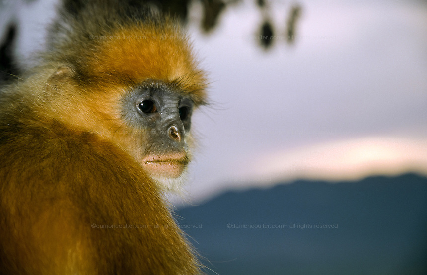 A Mitred Leaf monkey above Lake Maninjau, Sumatra, Indonesia. June 2000