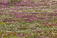 Spring wildflowers carpet the Arctic tundra in the Brooks Range, Alaska.