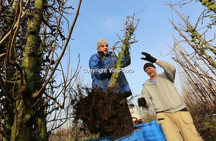 Foto VidiPhoto<br /> <br /> ECHTELD - Er is vrijwel geen perenboompje meer te krijgen in Nederland en daarom moet fruitteler Van Westreenen uit Echteld in Gelderland het dinsdag doen met de zes jaar oude bomen van een fruitteler uit de buurt die stopt met zijn bedrijf. De strenge nachtvorst van februari 2012 heeft een slachting veroorzaakt onder de perenbomen bij veel telers. Pas nu blijkt hoe groot de schade is. Van Westreenen moet 5500 bomen vervangen. Omdat meer telers dat op dit moment doen, is er nauwelijks aanbod. Het aanplanten van oudere bomen heeft wel als voordeel dat ze in 2014 al vrucht dragen.