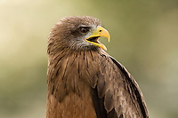 Portrait of a yellow-billed kite