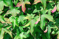 Sweet Gum Liquidamber styraciflua (Hamamelidaceae) HEIGHT to 28m. A large tree with attractive foliage. BARK Greyish brown with scaly ridges. BRANCHES Twisting and spreading to upcurved. LEAVES Sharply lobed with a toothed margin. They are alternate and give off a resinous scent when crushed, unlike maple leaves, which they resemble. REPRODUCTIVE PARTS The flowers are globose; fruits are spiny and pendulous, 2.5– 4cm across, resembling those of a Plane. STATUS AND DISTRIBUTION A widespread and common native tree of the south-eastern USA as far south as Central America. Familiar here as a colourful autumn tree in many parks and gardens.