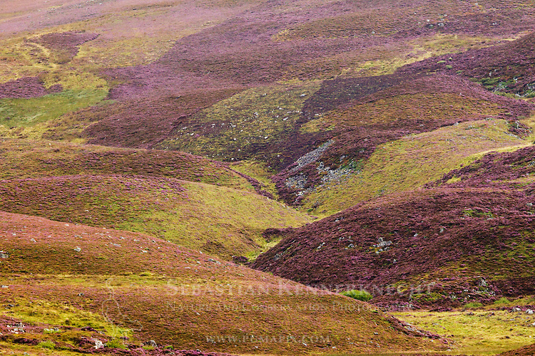 Heather (Calluna vulgaris) flowering in moorland, Scottish Highlands, Cairngorms National Park, Scotland, United Kingdom