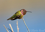 Anna's Hummingbird (Calypte anna), male, Bolsa Chica Ecological Reserve, California, USA