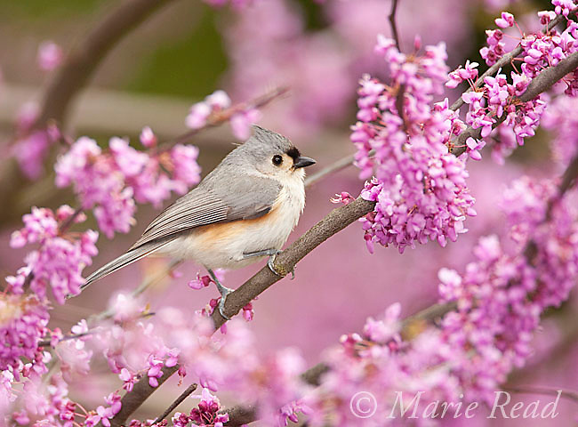Tufted Titmouse (Baeolophus bicolor) perched in flowering eastern redbud in spring, New York, USA
