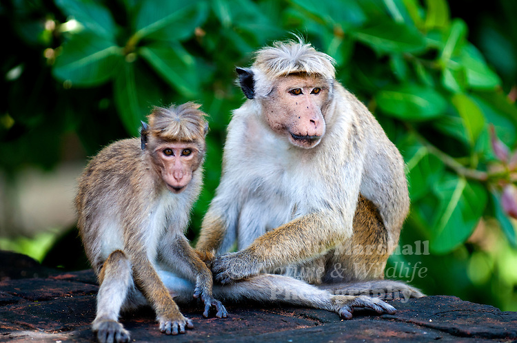 """Toque macaques (Macaca sinica) is a reddish-brown-coloured Old World monkey endemic to Sri Lanka, where it is locally known as the rilewa or rilawa (Sinhala රිළවා), (hence """"rillow"""" in the Oxford English Dictionary). It is named for the toque-shaped whorl of hair on its head, rather like the bonnet of the related bonnet macaque. Wilpattu National Park - Sri Lanka."""