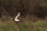 Female wood duck flying
