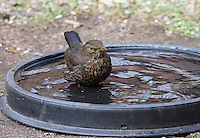 Amsel, Weibchen, badet in einer Tränke, Vogelbad, badend, Schwarzdrossel, Drossel, Turdus merula, blackbird, Merle noir
