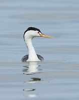 A Clark's grebe displays the bright yellow beak and white plumage extending above its eyes, features that distinguish it from the western grebe.<br />