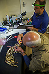 Black-footed Cat (Felis nigripes) biologist, Alex Sliwa, collaring male with biologist, Jason Herrick, analyzing sperm of male for artifical insamination in captive population, Benfontein Nature Reserve, South Africa