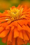 Zinnia flower closeup.