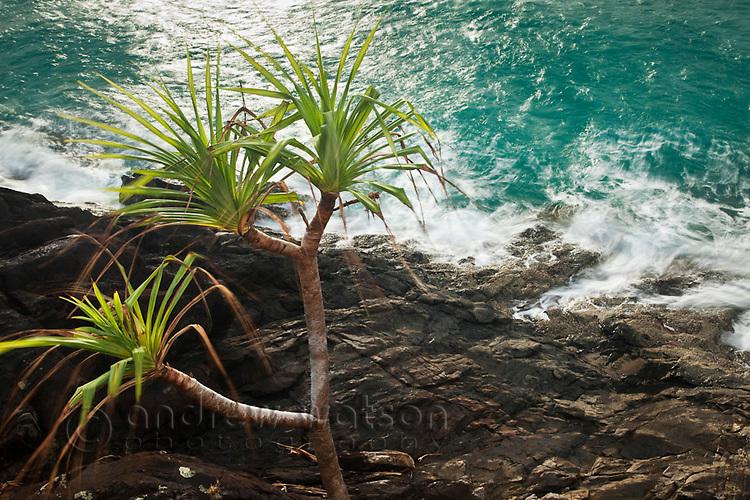 Pandanus palms on the rocky headland at Cape Tribulation, Daintree National Park, Queensland, Australia