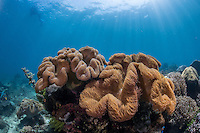 Leather coral in the Lembeh Strait