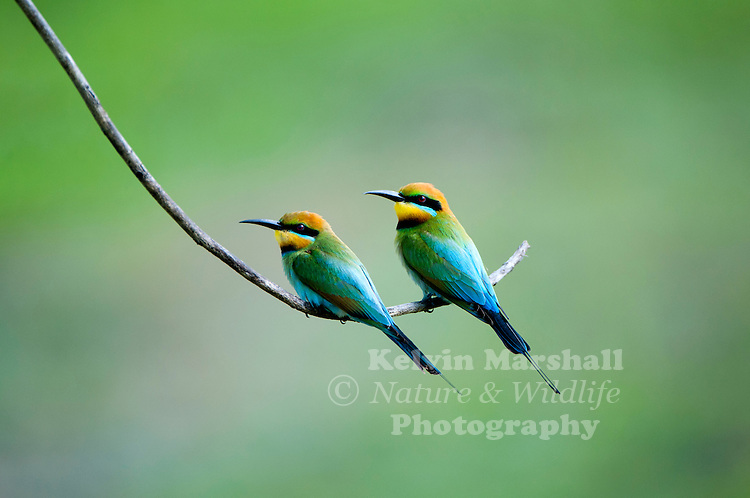 Rainbow Bee-eaters (Merops ornatus) is a near passerine bird in the bee-eater family Meropidae. It is the only species of Meropidae found in Australia. Cairns - Far - North Queensland