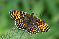 Heath Fritillary Melitaea athalia Wingspan 45mm. A rather sluggish and slow-flying butterfly. Adult has dark orange brown upperwings with bold dark markings; underwings are creamy-white with chestnut-brown markings. Flies June–July. Larva is blackish with bristly orange spikes; feeds on Common Cow-wheat, Wood-sage or plantains. Rare and local, mainly in southeast and southwest England; favours sunny woodland rides.