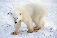 Polar bear  cub  (Ursus maritimus)