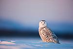 Snowy owl sitting in snow