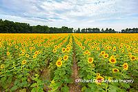 63801-11207 Sunflowers in field Jasper Co.  IL