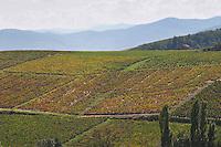 Vineyard. Morgon, Beaujolais, France