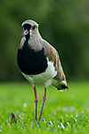 Southern Lapwing (Vanellus chilensis), Ibera Provincial Reserve, Ibera Wetlands, Argentina