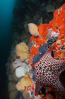 qs0632-D. Panamic Cushion Sea Star (Pentaceraster cumingi) amongst sponges and sea fans on colorful wall. Galapagos Islands, Ecuador, Pacific Ocean.<br /> Photo Copyright &copy; Brandon Cole. All rights reserved worldwide.  www.brandoncole.com