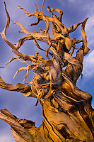 A Bristlecone Pine at sunset. This tree is in the Bristlecone National Monument in the White Mountains of California