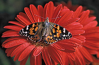 Painted Lady Butterfly (Cynthia cardui) on Gerbera Daisy (Gerbera jamesonii)..Southern British Columbia, Canada.