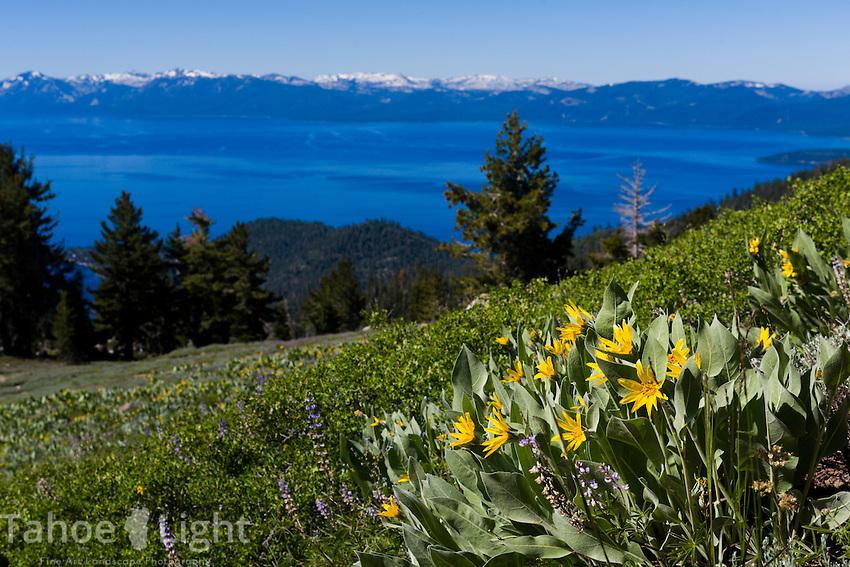 Wildflowers overlooking Lake Tahoe from Rose Knob Peak in Incline Village, Nevada.