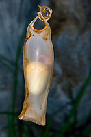 Catshark egg, Sea Life Munich, Germany, Bavaria, Munich