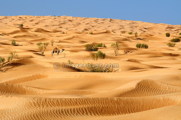 Africa, Tunisia, nr. Tembaine. Camel within the desert dunes of the Grand Erg Oriental.