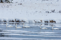 Trumpeter Swans along Henrys Fork of the Snake River, Harriman State Park, Idaho.  Winter.