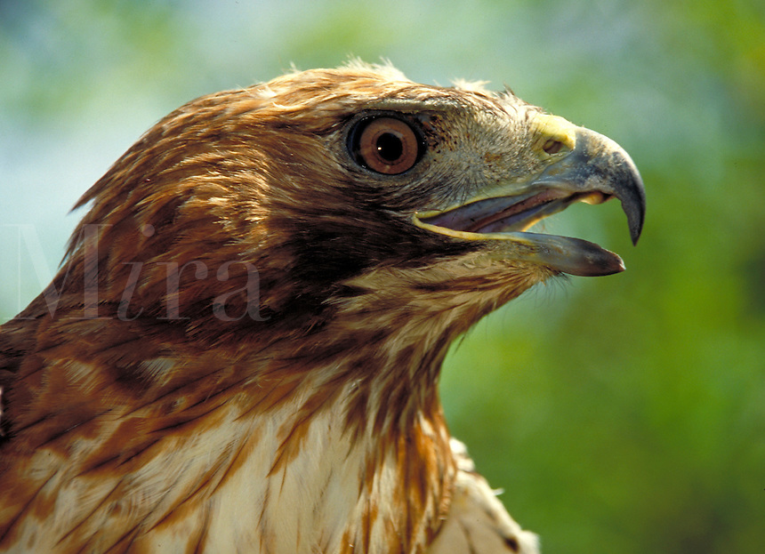 Red Tail Hawk profile.