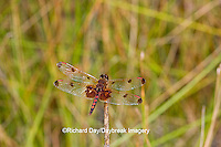 06578-00308 Calico Pennant dragonfly (Celithemis elisa) male, DuPage Co, IL