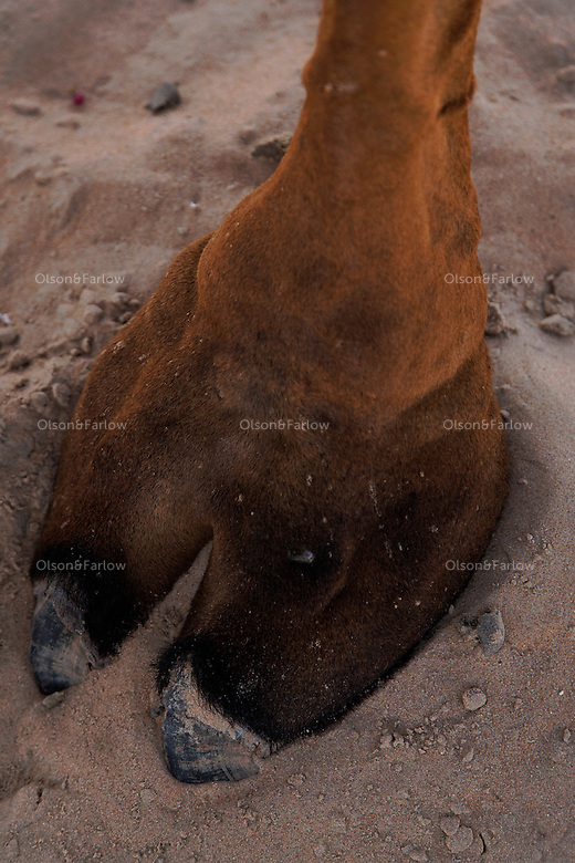Special features help camels survive desert life. As they plod along, the pads of their wide, flat feet spread apart to keep them from sinking into the sand.