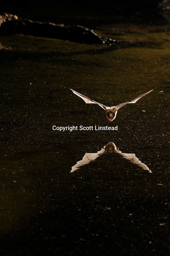 A little brown bat in flight over a pond.