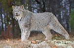 Lynx, Lynx canadensis, Minnesota, USA, in woodland, controlled situation.USA....