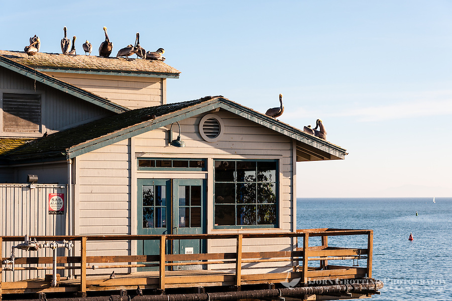 United States, California, Santa Barbara. Brown Pelicans on Stearns Wharf.